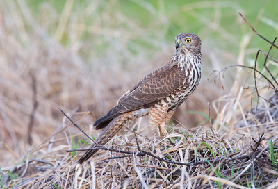 Brown Goshawk (Immature) (Accipiter fasciatus)