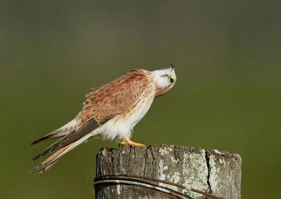 Nankeen Kestrel - Female (Falco cenchroides)