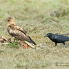 Whistling Kite (Haliastur sphenurus) and Torresian Crow (Corvus orru)