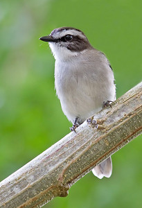 White-browed Robin (Poecilodryas superciliosa)
