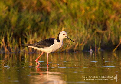 White-headed Stilt (Himantopus himantopus)
