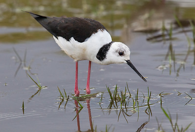 Immature White-headed Stilt (Himantopus himantopus)