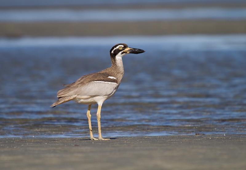 Beach-stone Curlew <i>(Esacus neglectus)</i>
