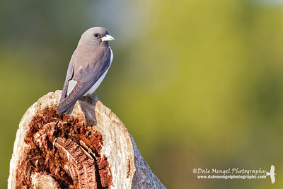 White-breasted Woodswallow (Artamus leucorynchus)