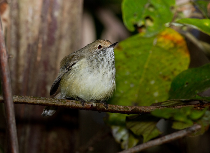 Brown Thornbill <i>(Acanthiza pusilla)</i>