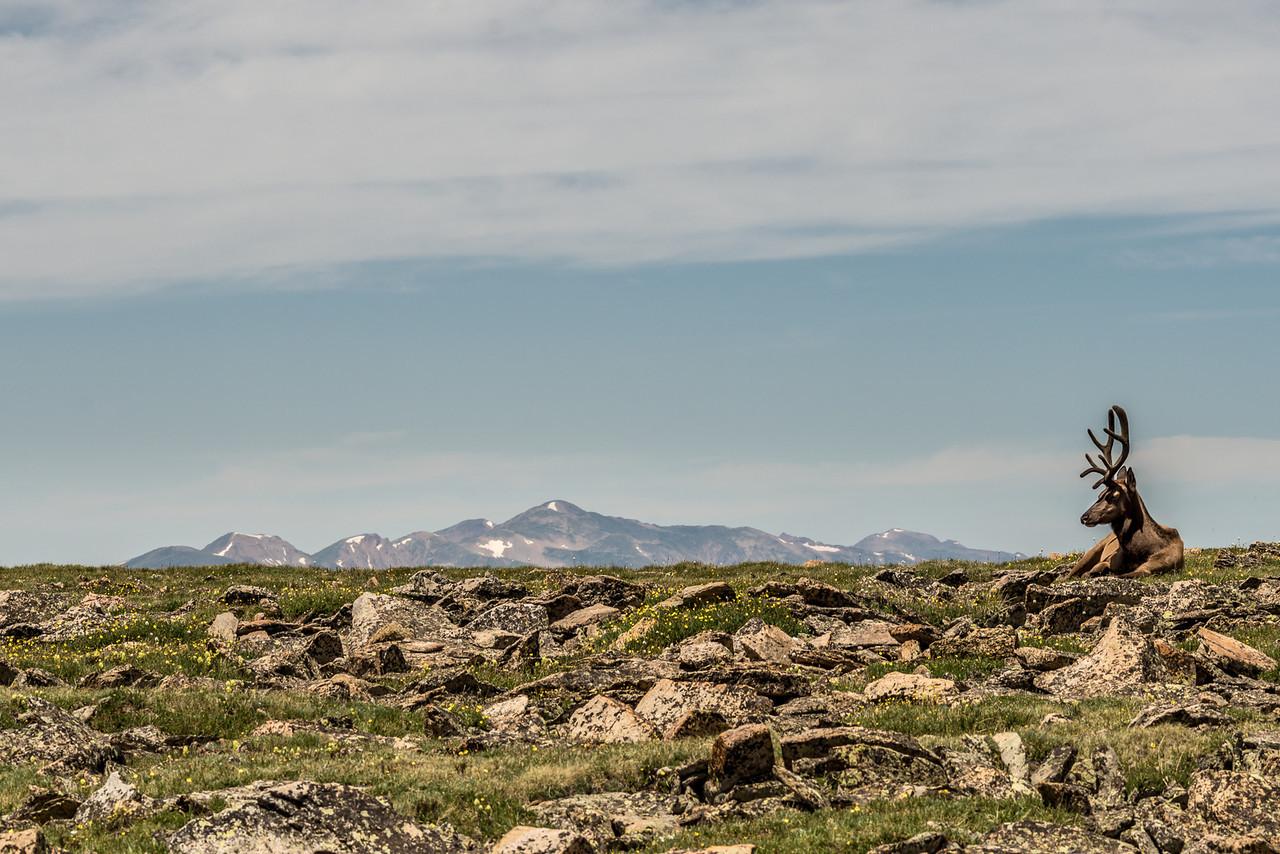 Rocky Mountain elk (Cervus elaphus ssp. nelsoni). Toll Memorial Trail, Trail Ridge Road, Rocky Mountain National Park, USA.
