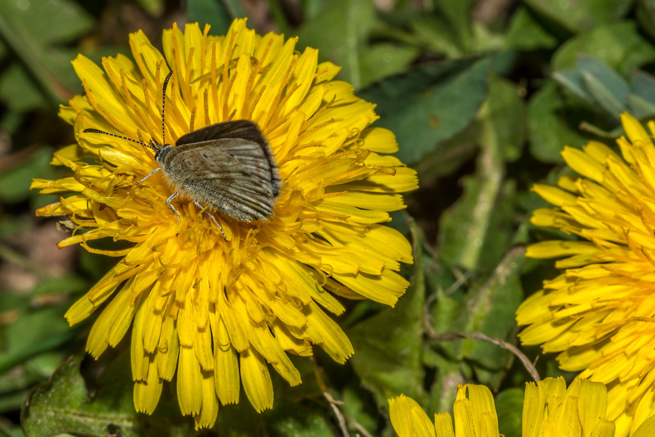 Rocky Mountain arctic blue (Plebejus glandon rusticus) on common dandelion (Taraxacum officinale), an abundant introduced plant in Rocky Mountain NP. Marmot Point Trail, Rocky Mountain National Park, CO.