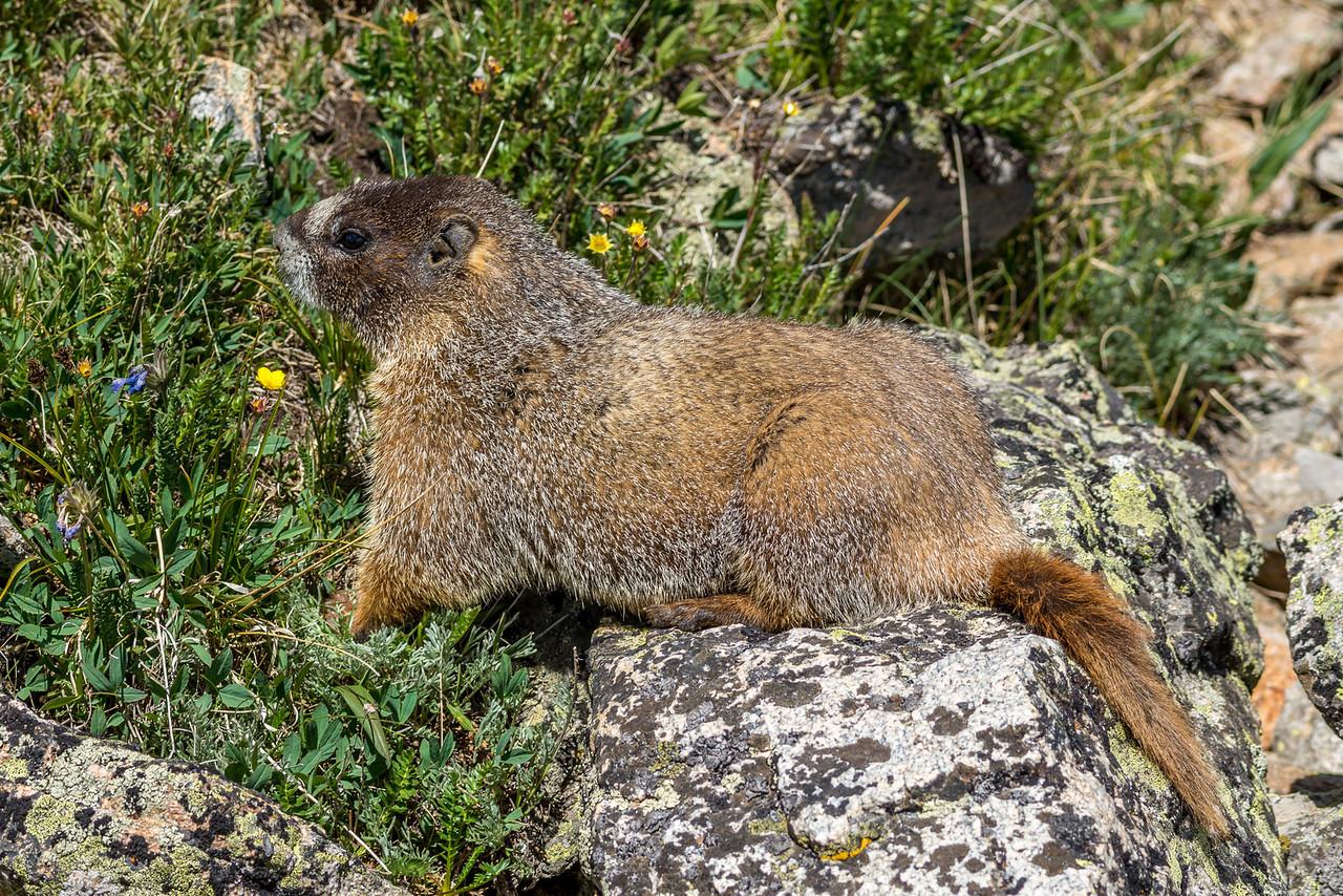 Yellow-bellied marmot (Marmota flaviventris). Toll Memorial Trail, Trail Ridge Road, Rocky Mountain National Park, USA.