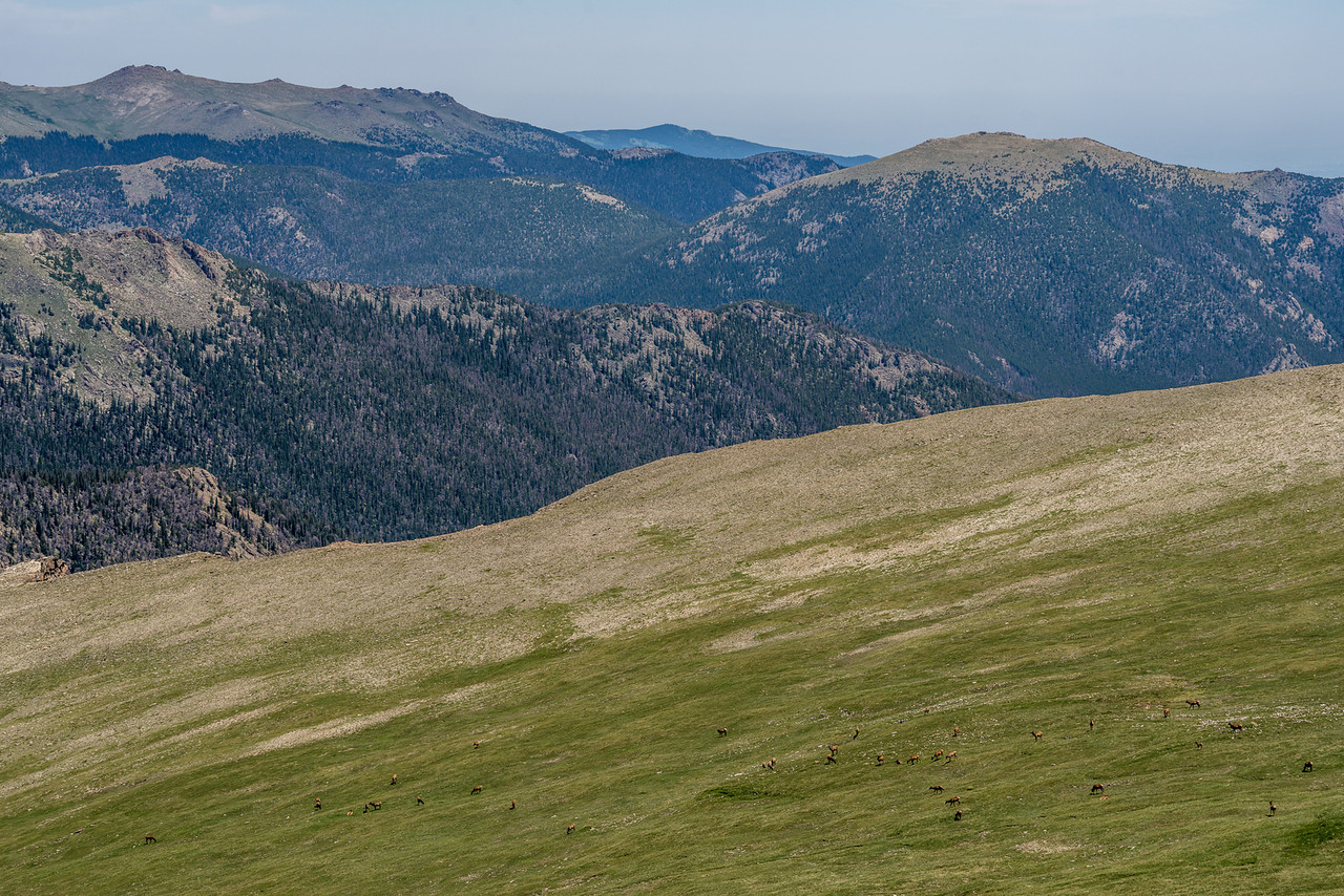 Alpine tundra and Rocky Mountain elk (Cervus elaphus ssp. nelsoni). Toll Memorial Trail, Rocky Mountain National Park, USA.