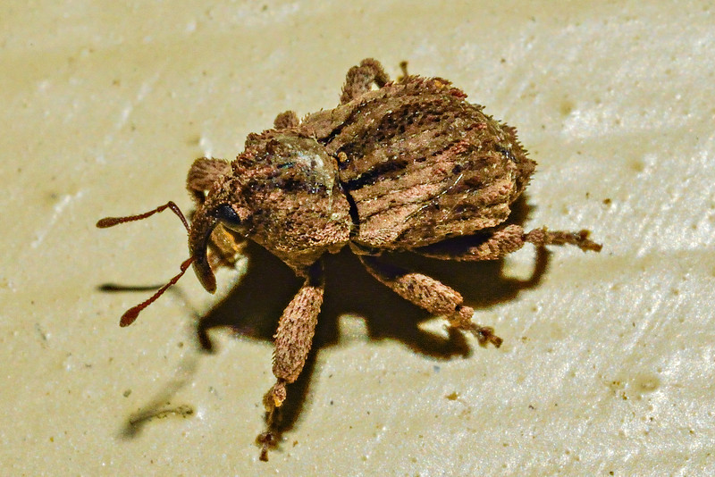 Weevil (Tychanus verrucosus). Approx 5mm long, or less. Opoho, Dunedin.