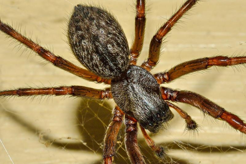 Grey house spider (Badumna longinqua). Opoho, Dunedin.