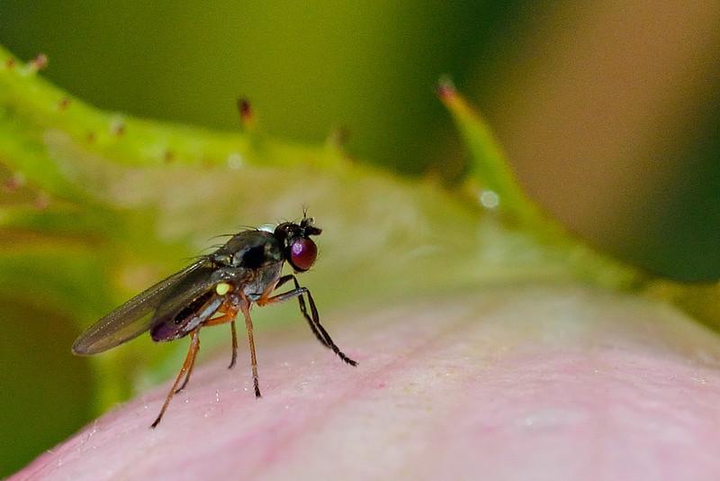 Black pasture fly (Hydrellia tritici). Opoho, Dunedin.