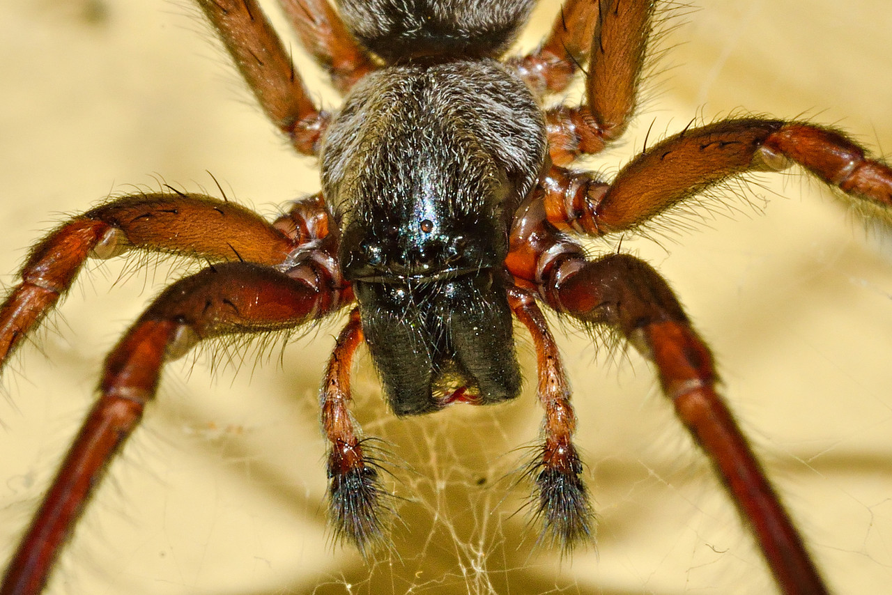 Grey house spider (Badumna longinqua), close up detail. Opoho, Dunedin.