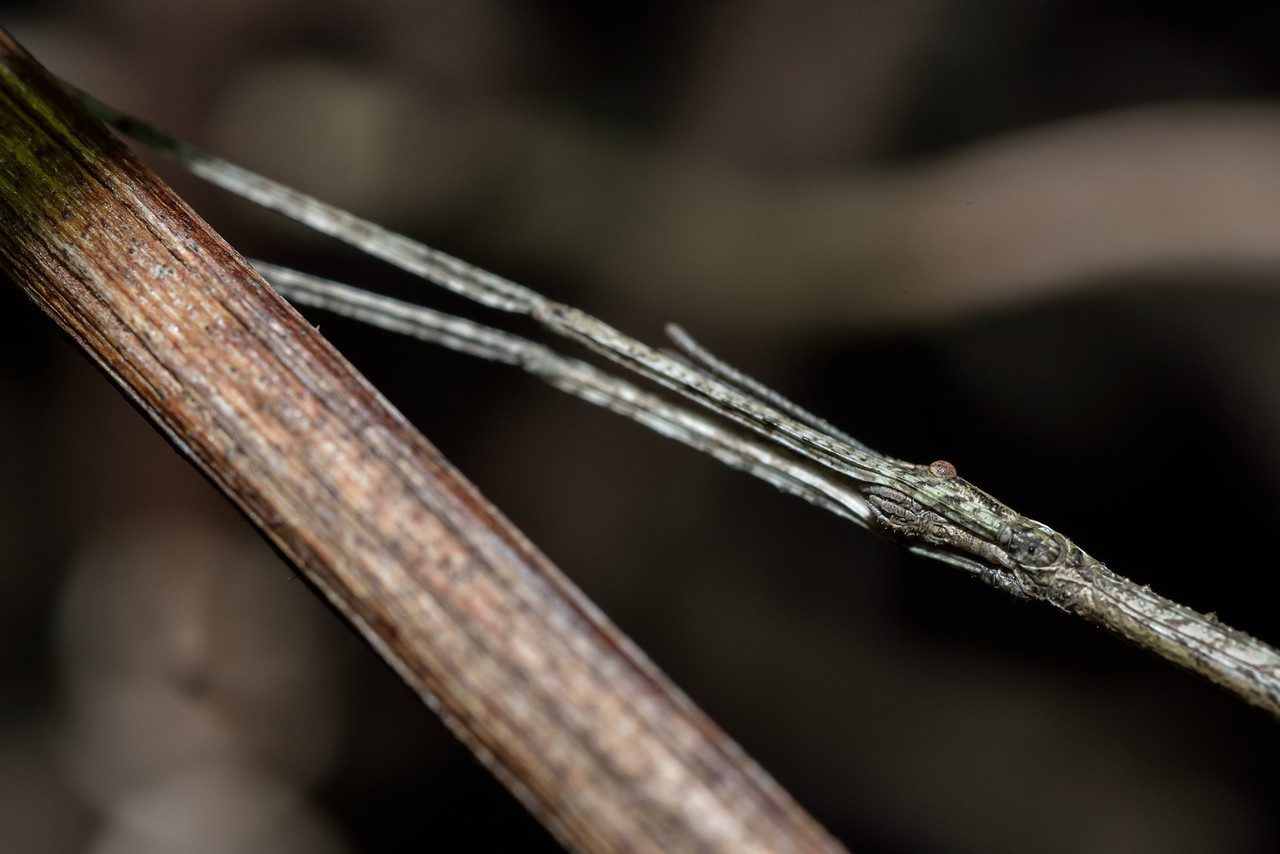 Common stick insect (Clitarchus hookeri) in camouflage position. Opoho, Dunedin.