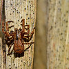 Square-ended crab spider (Sidymella spp.) on cabbage tree leaf. Opoho, Dunedin.