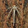 Family Stathmopodidae, Subfamily Stathmopodinae. Opoho, Dunedin.