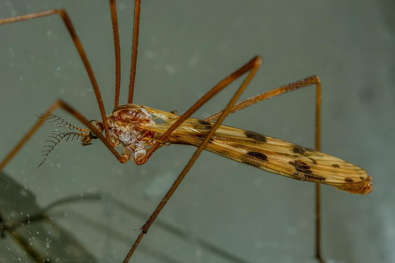 Crane fly (Gynoplistia notata) male. Opoho, Dunedin.