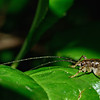Cave wētā / tokoriro (Talitropsis sedilloti). The smallest one I've ever seen! Body length approx 10mm. Opoho, Dunedin.