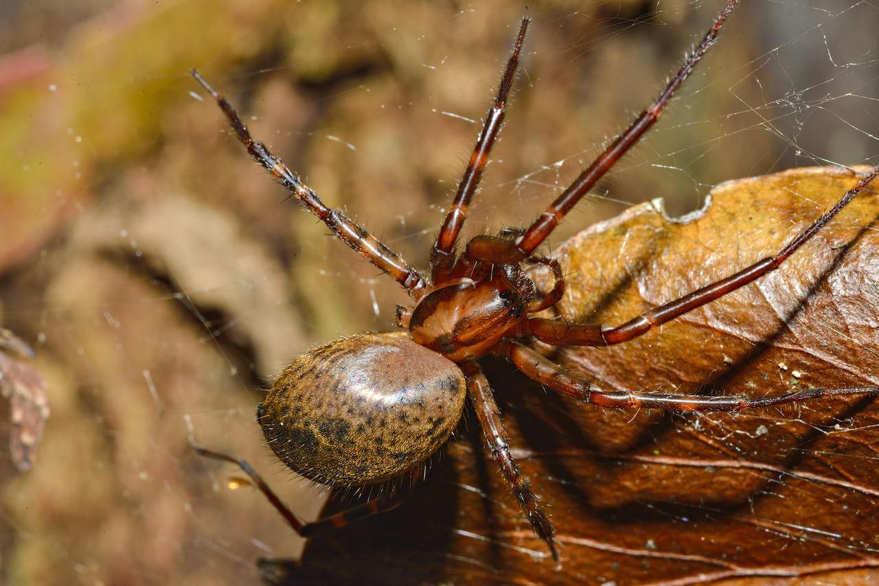 Sheetweb spider (Cambridgea spp.) - they walk on the underside of their web. Opoho, Dunedin.