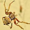 Eriophora pustulosa, a common introduced Australian orbweb spider, suspended on its web. Opoho, Dunedin.