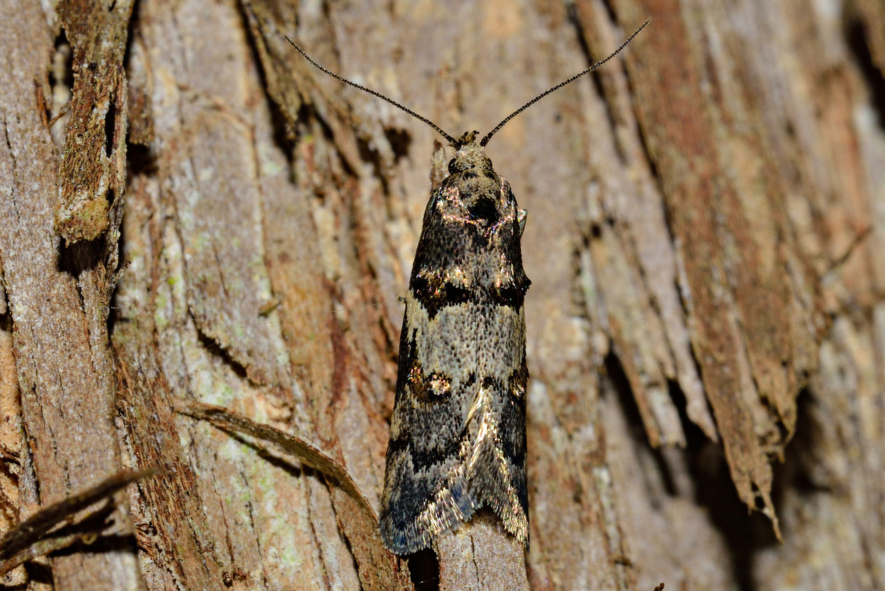 Trachypepla galaxias, a concealer moth (Family Oecophoridae). Opoho, Dunedin.