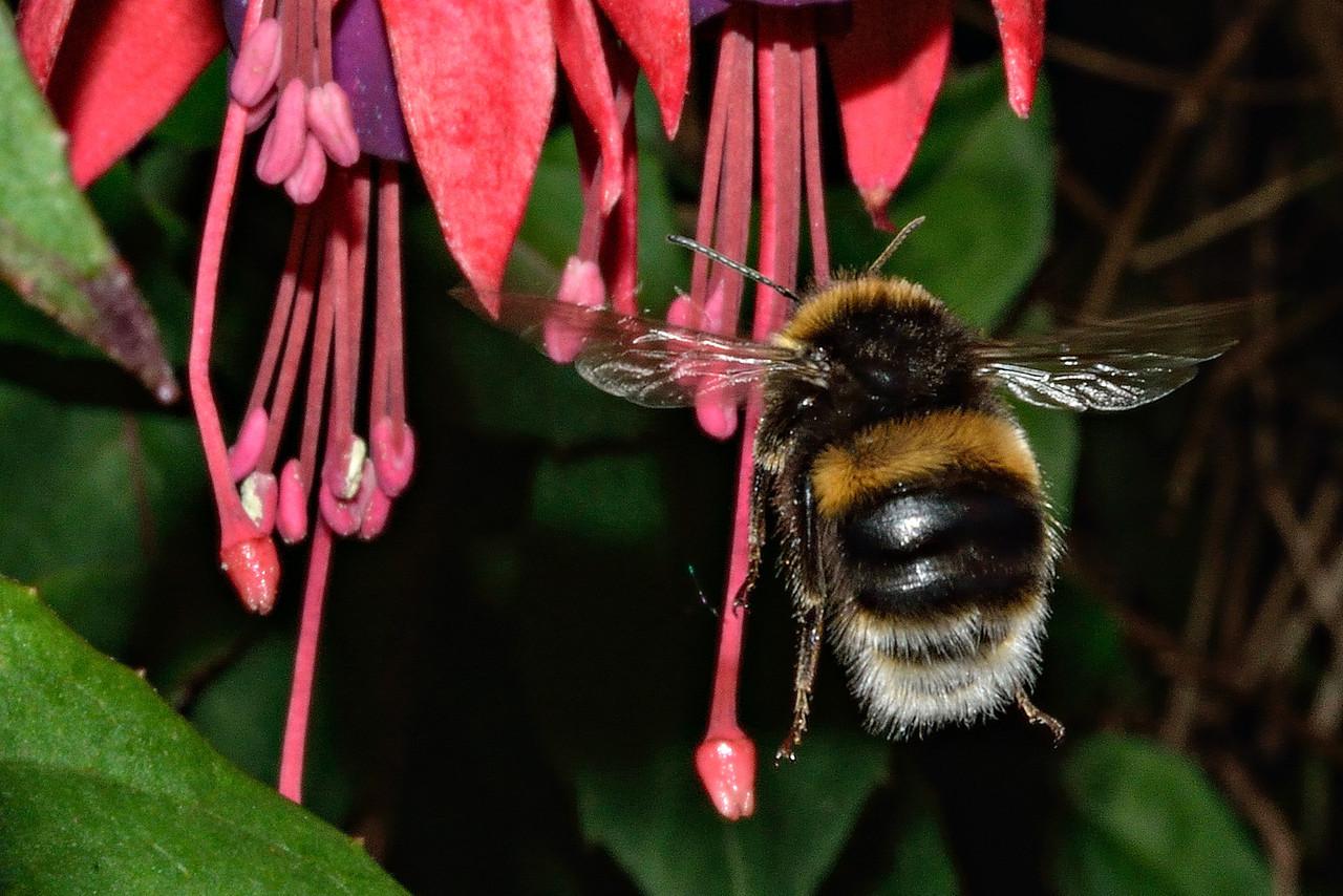 Buff-tailed bumblebee (Bombus terrestris). Opoho, Dunedin.