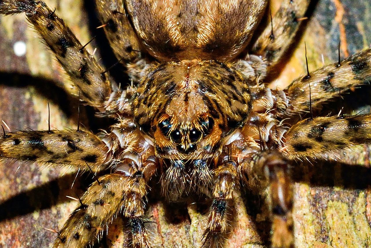 Scuttling spider (Cycloctenus fugax), on gum tree. Opoho, Dunedin.