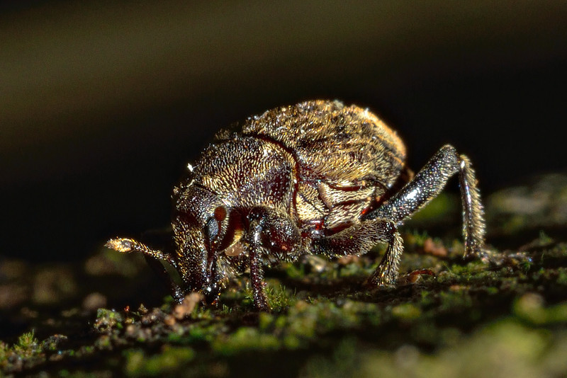 Weevil (Psepholax sulcatus). Opoho, Dunedin.