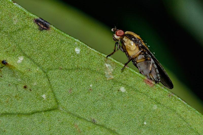 Acalyptrate fly (Allophylopsis spp.). Opoho, Dunedin.