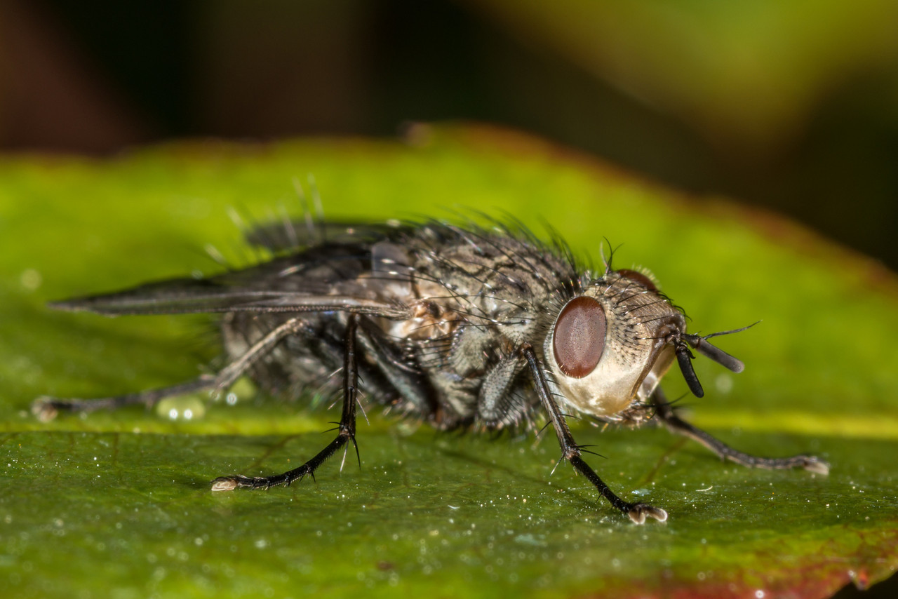 Bristle fly (Tachinid). Opoho, Dunedin.