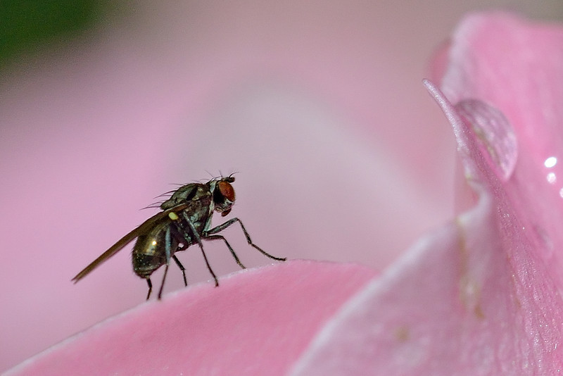Shore fly (Hydrellia spp.) on rose petal. Opoho, Dunedin.