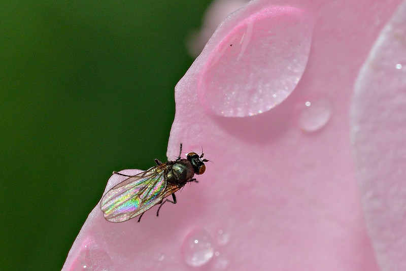 Shore fly (Hydrellia spp.) on rose petal. Opoho, Dunedin..