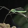 Crane fly (Leptotarsus viridis). Caples River, Mount Aspiring National Park.