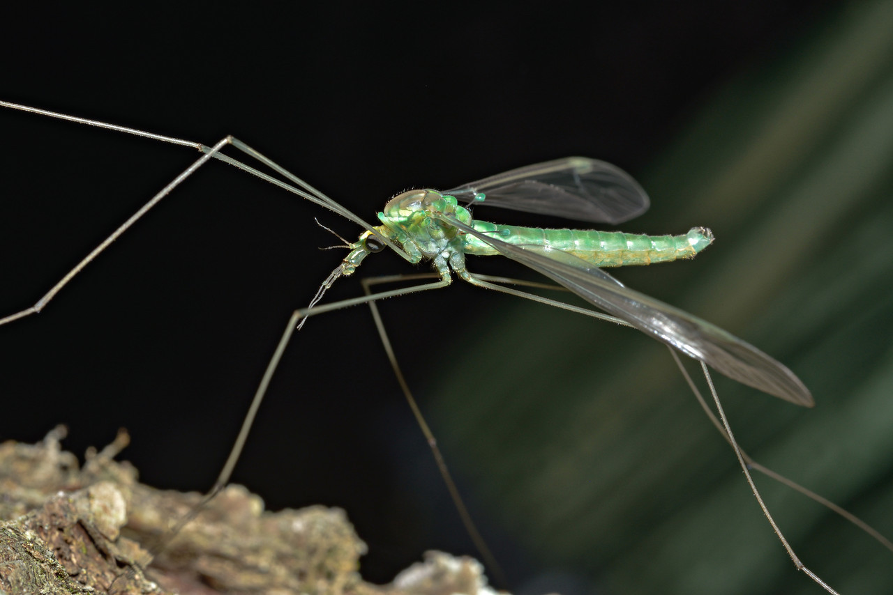 Crane fly (Leptotarsus viridis). Caples River, Mount Aspiring National Park.