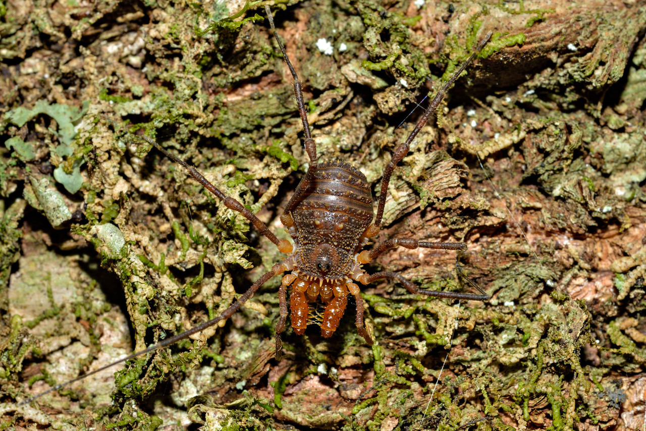 Triaenonychid harvestmen (Prasma spp.). Caples River, Mount Aspiring National Park.