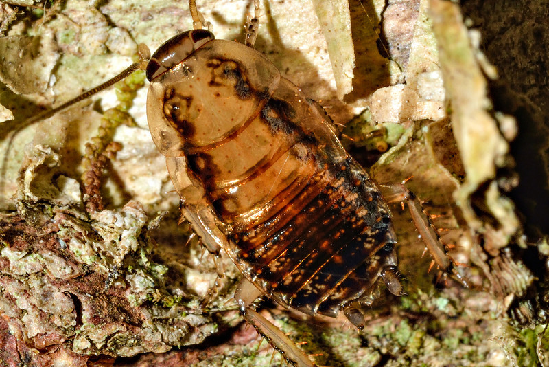 Wingless native bush cockroach (Celatoblatta vulgaris). Caples River, Mount Aspiring National Park.