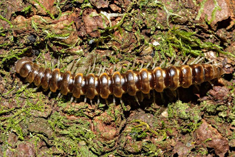 Flat-backed millipede (order Polydesmida). Caples River, Mount Aspiring National Park.