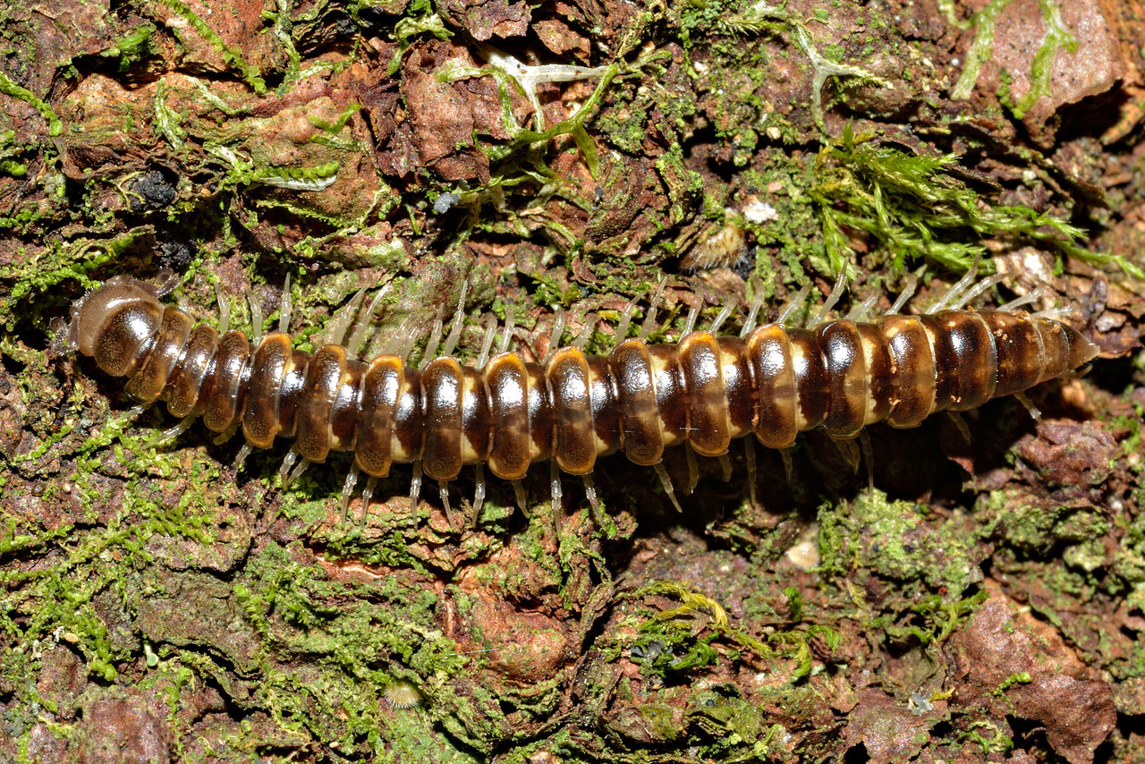 Flat-backed millipede (order Polydesmida). Caples River, Mount Aspiring National Park.