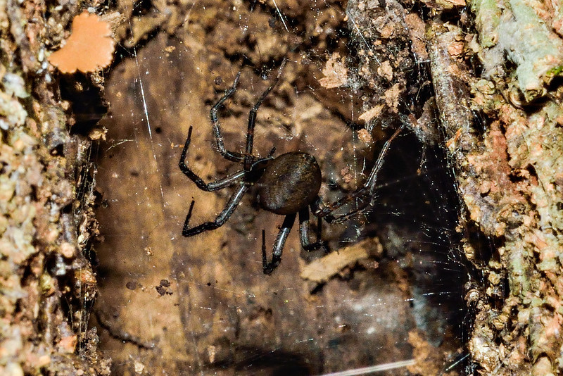 Sheetweb spider (Cambridgea spp.). Caples River, Mount Aspiring National Park.