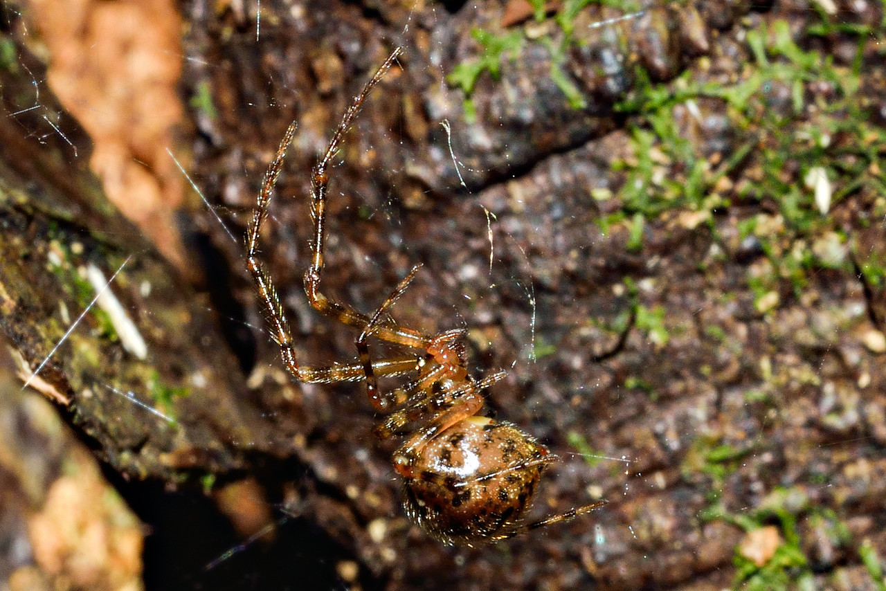 Cobweb spider (Theridion zantholabio). Caples River, Mount Aspiring National Park.
