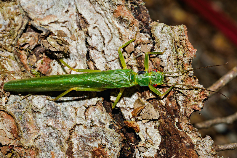 Large green stonefly (Stenoperla spp.). Caples River, Mount Aspiring National Park.