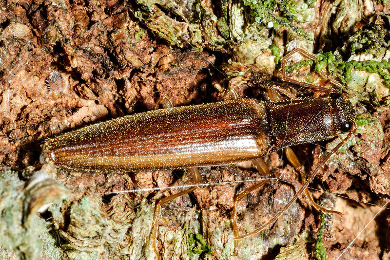 Click beetle (Oxylasma spp.). Caples River, Mount Aspiring National Park.