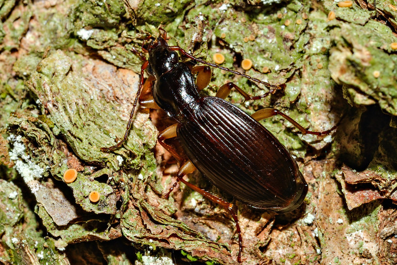 Ground beetle (Ctenognathus davidsoni). Caples River, Mount Aspiring National Park.
