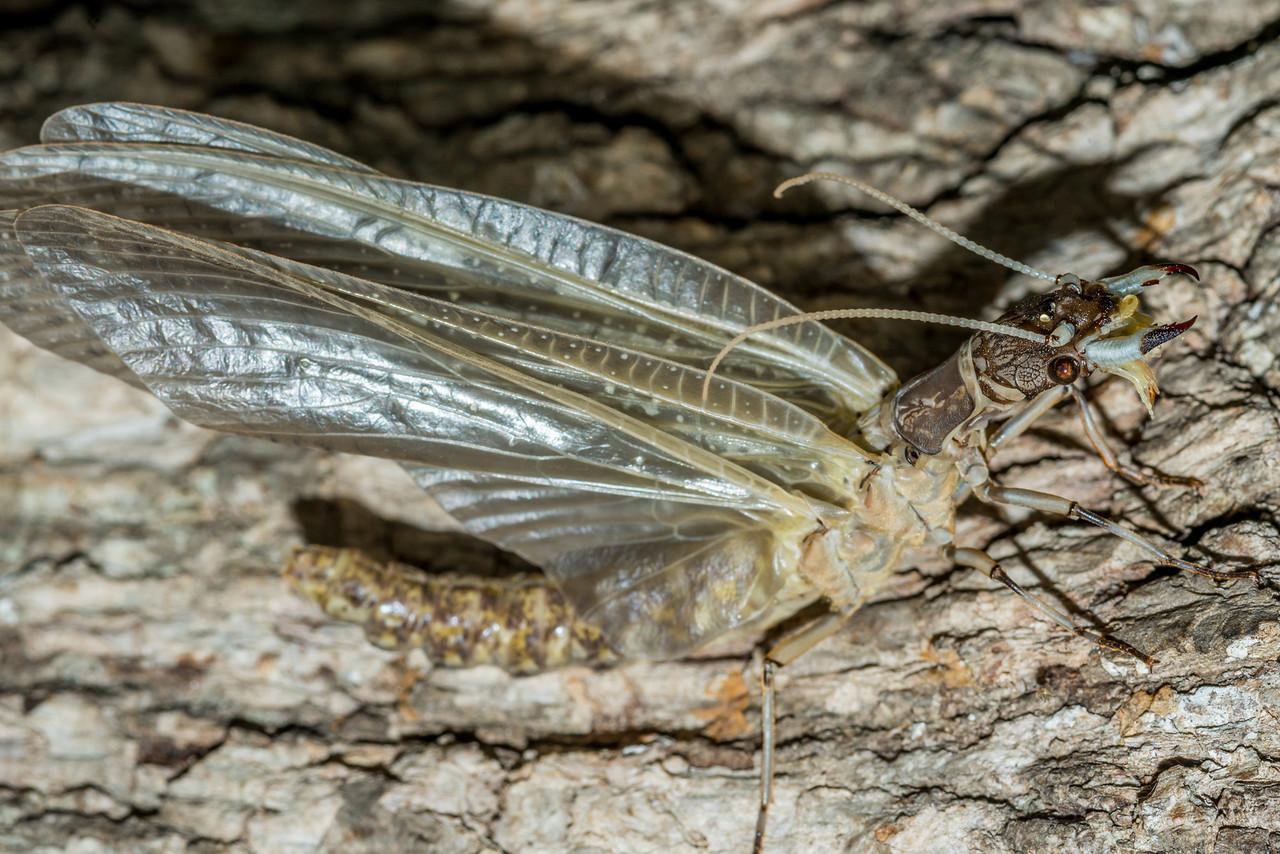 Female eastern dobsonfly (Corydalus cornutus). St Croix Falls, WI, USA.