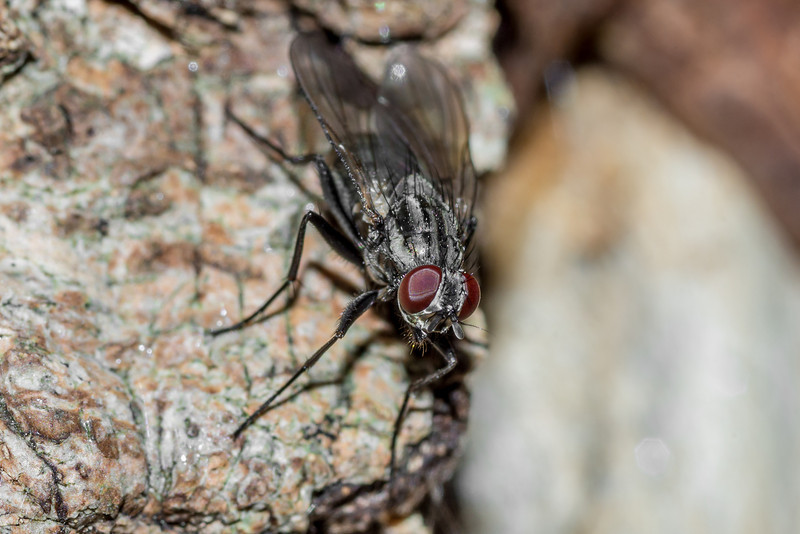 House fly (Muscidae). St Croix Falls, WI, USA.