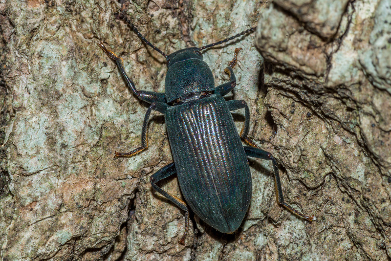 Darkling beetle (Xylopinus saperdioides). St Croix Falls, WI, USA