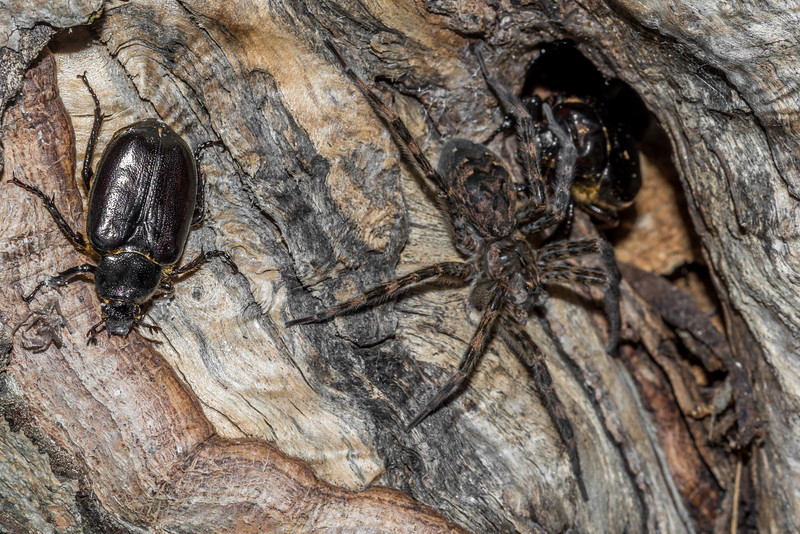 Hermit flower beetle (Osmoderma eremicola) and dark fishing spider (Dolomedes tenebrosus) sharing the burrow. St Croix Falls, WI, USA.
