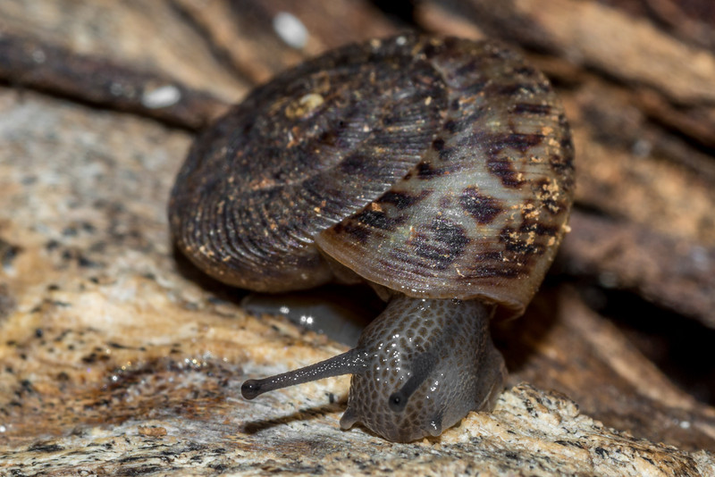 Land snail (Anguispira spp., probably Anguispira alternata angulata). St Croix Falls, WI, USA.