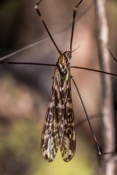 Crane fly (Discobola dohrni). Port Craig, Fiordland National Park.