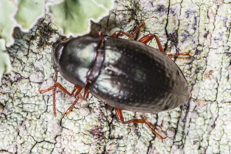 Darkling beetle (Cerodolus chrysomeloides). Lake Monk, Fiordland National Park.